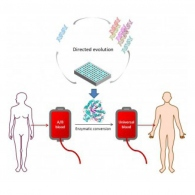 Blood for all: Making universal blood through enzymes