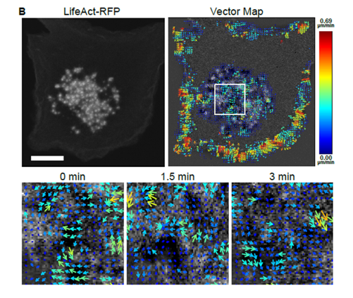 Mapping protein dynamics and interactions in podosomes in living